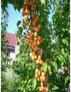 Колоновидный абрикос Первайс в Грозном