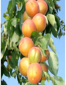 Колоновидный абрикос Радости жизни в Грозном