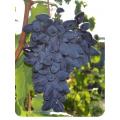 Виноград Викинг в Грозном