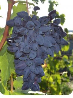 Саженцы Винограда Викинг в Грозном