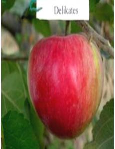 Яблоня Деликатес в Грозном