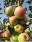 Яблоня Синап Белый в Грозном
