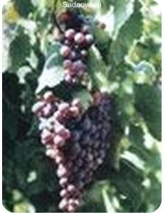 Виноград Агат Донской в Грозном