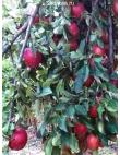 Яблоня Рихард в Грозном
