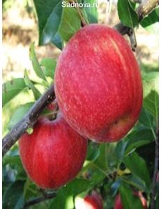 Яблоня Гала Галакси в Грозном