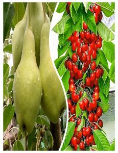 Комплект из 2-х сортов в Грозном - Колоновидная груша Видная + Колоновидная черешня Красная помада
