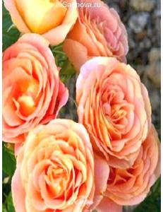 Роза Экзотика в Грозном