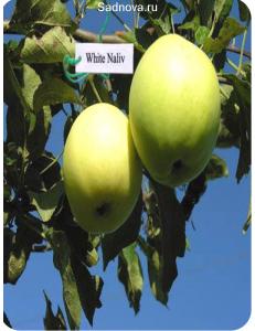 Яблоня Белый Налив в Грозном