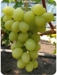Виноград Валек в Грозном