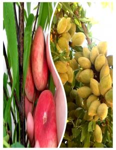 Комплект из 2-х сортов в Грозном - Миндаль Нонпарель + Инжирный персик Маршмеллоу