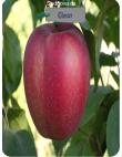 Яблоня Глостер в Грозном