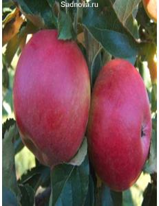 Яблоня Айдаред в Грозном