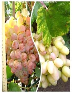 Комплект из 2-х сортов в Грозном - Виноград Преображение + Виноград Фламинго