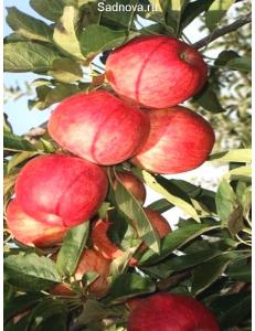 Яблоня Книп-Баум Галла Мондиал в Грозном