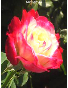 Роза Дабл Дилайт в Грозном