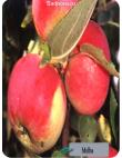 Яблоня Мельба в Грозном