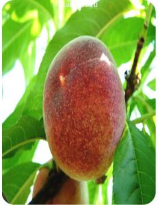 Персик Красная Девица в Грозном