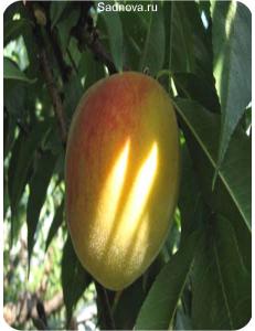 Персик Золотой Юбилей в Грозном