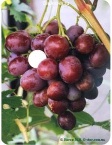 Виноград Атаман в Грозном
