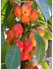 Яблоня Райская Яблоня в Грозном
