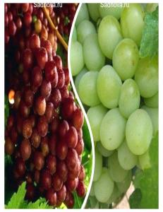 Комплект из 2-х сортов в Грозном - Виноград Граф Монте Кристо + Виноград Александрит