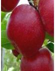 Яблоня Джонатан в Грозном