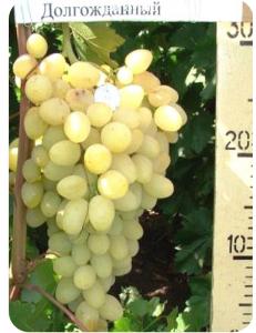 Виноград Долгожданный в Грозном