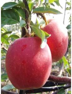 Яблоня Гала Маст в Грозном