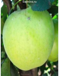Яблоня Гринсливз в Грозном