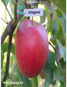 Яблоня Джонагоред в Грозном