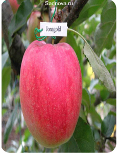 Яблоня Джонаголд в Грозном