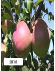 Яблоня Лигольд в Грозном