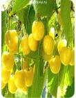 Черешня Дрогана Желтая в Грозном