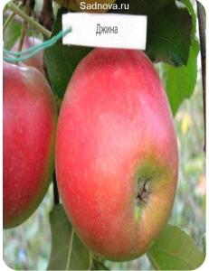 Яблоня Джина в Грозном