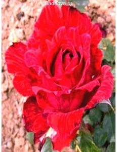 Роза Ред Интуишн в Грозном