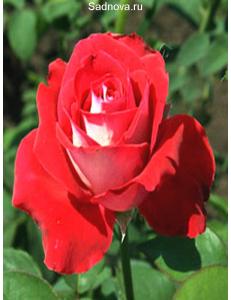 Роза Луксор в Грозном