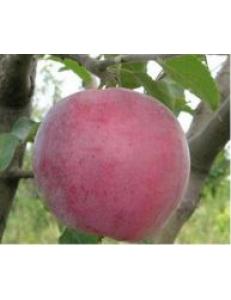 Яблоня Вильямс Прайд в Грозном