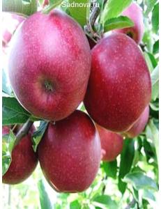 Яблоня Книп-Баум Ред Джонапринц в Грозном
