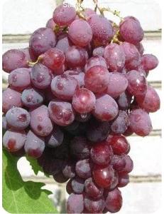 Виноград Гелиос в Грозном