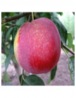 Яблоня Виста Белла в Грозном
