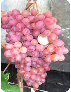 Виноград Велес в Грозном