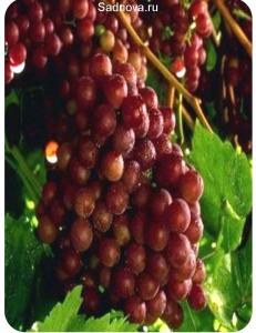 Виноград Граф Монте Кристо в Грозном