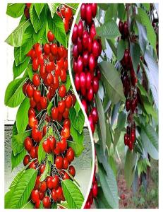 Комплект из 2-х сортов в Грозном - Колоновидная черешня Красная помада + Колоновидная черешня Квин Мери