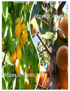 Комплект из 2-х сортов в Грозном - Абрикос Альфа + Абрикос Фелпс