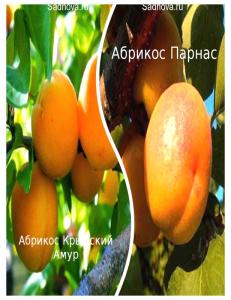 Комплект из 2-х сортов в Грозном - Абрикос Парнас + Абрикос Крымский Амур