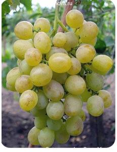 Виноград Восторг в Грозном